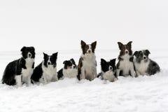 博德牧羊犬装箱 库存照片
