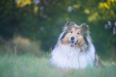 博德牧羊犬说谎的美丽的画象 免版税库存图片