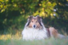 博德牧羊犬说谎的美丽的画象 库存图片