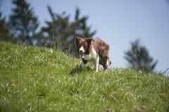 博德牧羊犬走 库存照片