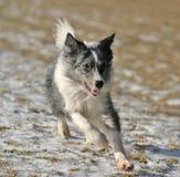 博德牧羊犬运行中 免版税库存图片