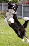 博德牧羊犬飞跃 库存照片