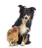 博德牧羊犬, 8.5岁,坐的在的母鸡之后看它充满妒嫉 免版税库存照片