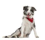 博德牧羊犬, 7个月,坐 免版税库存图片