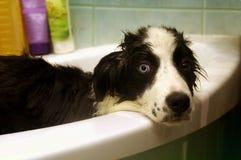 博德牧羊犬洗涤物  库存照片