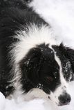 博德牧羊犬 库存图片