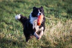 博德牧羊犬 库存照片