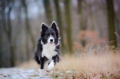 博德牧羊犬 图库摄影
