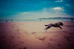 博德牧羊犬/carea利昂小狗在海滩跑 免版税库存照片