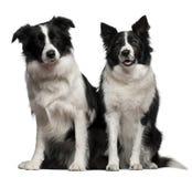 博德牧羊犬1和9岁,坐 库存照片