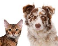 博德牧羊犬merle红色 免版税库存图片