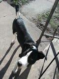 博德牧羊犬Pitbull混合小狗逗人喜爱的照片 免版税图库摄影
