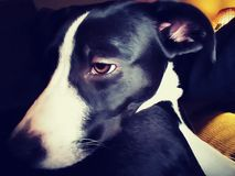 博德牧羊犬Pitbull混合小狗逗人喜爱的照片 免版税库存照片