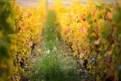 博若莱红葡萄酒和黄色叶子葡萄园在秋季期间的 库存照片