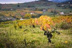 博若莱红葡萄酒和黄色叶子葡萄园在秋季期间的 免版税图库摄影