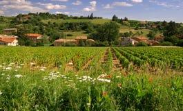 博若莱红葡萄酒葡萄园 库存照片