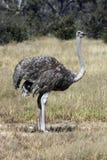 博茨瓦纳女性驼鸟 免版税库存图片