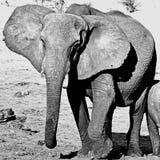 博茨瓦纳的大象 库存图片