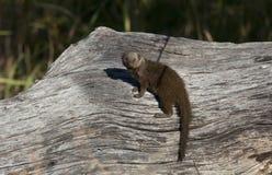 博茨瓦纳矮小的猫鼬 库存照片