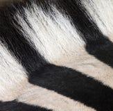 博茨瓦纳马属拟斑马斑马 免版税图库摄影