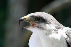 占卜师肉食(鵟鸟rufofuscus占卜师) 库存图片