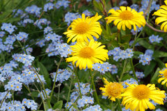 贺卡、开花的春天雏菊和勿忘草 库存图片