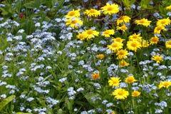 贺卡、开花的春天雏菊和勿忘草 免版税库存照片