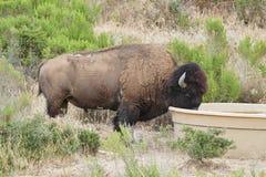 卡塔利娜海岛北美野牛牧群 免版税图库摄影