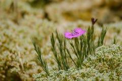 卡尔特教团桃红色花(石竹carthusianorum) 库存图片
