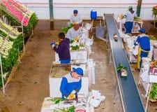 卡扬贝火山,厄瓜多尔- 2017年11月, 30日:在工作在花工厂分类里面的观点的未认出的人民上 免版税库存照片