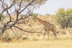 卡拉哈里长颈鹿 免版税图库摄影