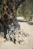 卡拉迈橄榄树 库存图片