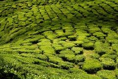 卡梅伦高地种植园茶 免版税库存照片