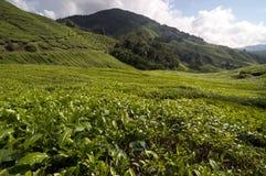 卡梅伦高地茶世界 库存照片