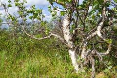 卡累利阿人的桦树 免版税库存图片