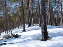 卡累利阿人的森林 库存图片