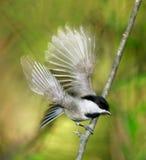 卡罗来纳州山雀 免版税图库摄影