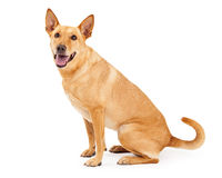卡罗来纳州狗坐的外形 免版税库存照片