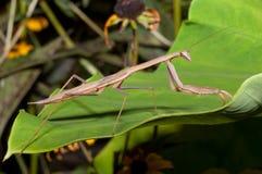 卡罗来纳州螳螂祈祷的stagmomantis 图库摄影