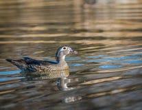 卡罗来纳州鸭子- Aix sponsa女性 图库摄影