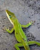 卡罗来纳州绿色Anole壁虎蜥蜴 库存图片