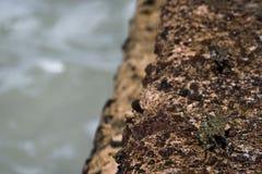 卡莫螃蟹监视 库存照片