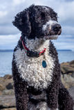 卡西西班牙水猎狗 免版税图库摄影