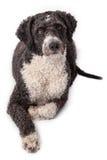 卡西西班牙水猎狗 库存图片