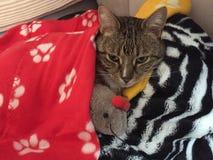 卡西迪猫 免版税库存图片