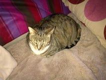 卡西迪糖尿病虎斑猫 库存图片