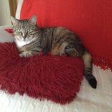 卡西迪虎斑猫休息 库存图片