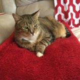 卡西迪虎斑猫 免版税库存照片
