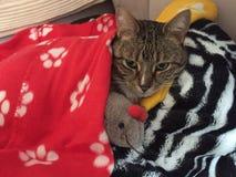 卡西迪虎斑猫 库存照片
