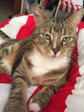 卡西迪绿眼的猫 免版税库存图片